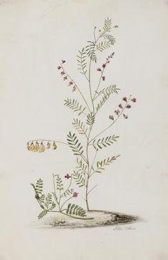 Lessertia herbacea (L.) Druce (Papilionaceae)  Vervaardiger: Withoos, Alida Jaartal: 1694