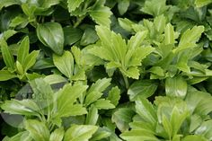 Buy Japanese spurge Pachysandra terminalis - Evergreen ground cover with white flowers. For sun or shade: Delivery by Waitrose Garden Small Evergreen Shrubs, Evergreen Groundcover, Lenten Rose, Border Plants, Ground Cover Plants, Side Garden, Low Maintenance Garden, Woodland Garden, Garden Shop