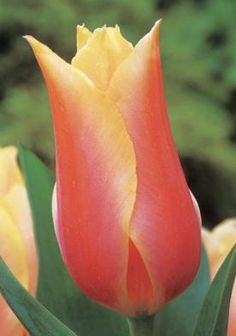 Bloms Bulbs - Blushing Beauty Tulip