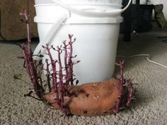 How To Grow 25 Pounds Of Sweet Potatoes In A Bucket… | http://www.ecosnippets.com/gardening/grow-sweet-potatoes-in-a-bucket/