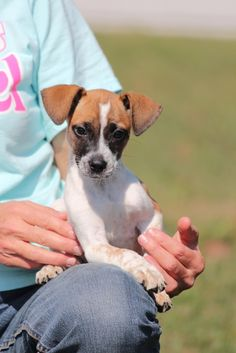 Liza | #Adoptable #Dog | Chihuahua | Deerfield, #NH | Pinned on 10/24/13! Do you need more information on Liza??!! Maybe you're ready to bring her home? Call Mary's Dogs: 603.370.7750 or send along an email: marysdogsadoptions@gmail.com. WE HAVE SOME FABULOUS DOGS! They are often posted on our Facebook Fan Page first.