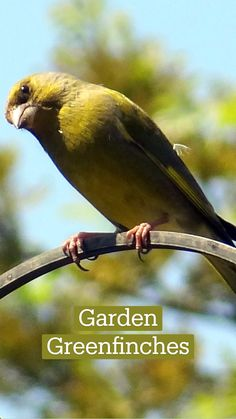Most Beautiful Birds, Animals Beautiful, Somerset Garden, Greenfinch, Cute Wild Animals, Bird Illustration, Exotic Birds, Love People, Bird Art