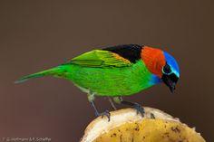 Red necked tanager (Tangara cyanocephala)