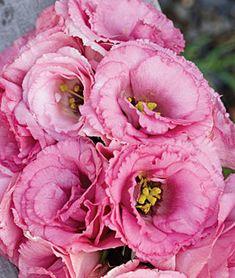 Lisianthus, Balboa Rose, , large
