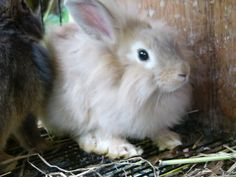 Double Maned Lionhead Rabbit   Location: Suburb, District Of Columbia, USA