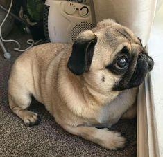 Ponderous Pug #pug