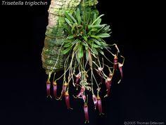 Trisetella triglochin