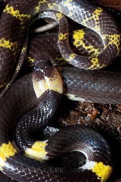 Laotian Wolf Snake