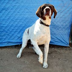 Meet Chase! Gsp Rescue, Smart Boy, German Shorthaired Pointer, Pointers, Pitbulls, I Am Awesome, Meet, Animals, Stylus