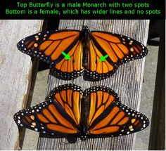 Butterfly Life Cycle Butterflies are Free and Beautiful Butterfly Life Cycle, Butterfly House, Butterfly Wings, Butterfly Information, Monarch Butterfly Migration, Butterfly Feeder, Dreadlocks, Chenille, Save The Bees