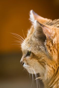 """big-cat-network: """"Sand Cat (by Cloudtail) """" Small Wild Cats, Big Cats, Cats And Kittens, Cute Cats, Funny Cats, Maine Coon, Black Footed Cat, Cat Profile, Sand Cat"""