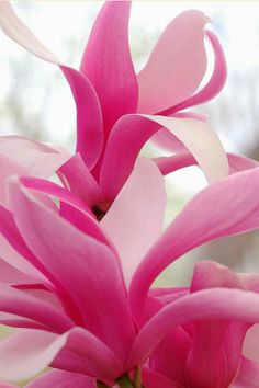 magnolia, beautiful