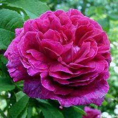 BELLE DE CRÉCY  (ROESER 1829)  Rosier rustique à port érigé, peu épineux, à fleurs moyennes doubles,plates, rose lilas finissant parme,  très parfumées. Floraison non remontante. H: 1.20m. GALLIQUE.