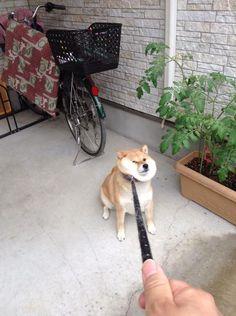 雨だから散歩行かないってばッ!!