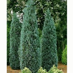 Chamaecyparis Lawsoniana Columnaris Glauca 9 ft tall by 3 ft wide