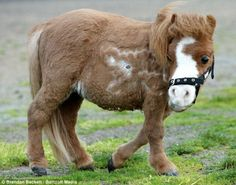 Mini horse Koda was born a dwarf, isnt he the cutest?!