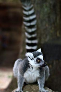 Zoo - Ring-Tailed Lemur