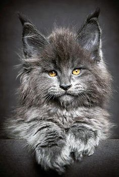 Cats beautiful photography maine coon 51 ideas for 2019 Gatos Maine Coon, Gato Maine, Maine Coon Kittens, Cute Kittens, Cats And Kittens, Images Of Kittens, Cute Cats Photos, Ragdoll Kittens, Bengal Cats