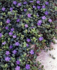 Vinca minor (illumination) One of my favorite for a ground cover