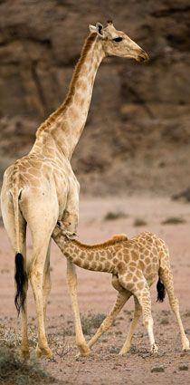 A giraffe keeps watch as her youngster feeds! Wildlife at Hoanib Skeleton Coast Camp Wild Animals, Baby Animals, Cute Animals, Exotic Animals, Exotic Pets, Giraffe Art, Elephant, Mountain Zebra, Giraffe Family