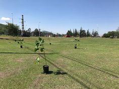 Colocaron 90 árboles en la platabanda de avenida Reyes Católicos: A pedido del Concejo Deliberante, la Dirección General de Espacios Verdes…
