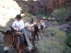 Camping For The First Time Grand Canyon Mule Ride, Grand Canyon Camping, Draft Mule, Barn Art, Work With Animals, A Beast, Trail Riding, Western Cowboy, Livestock