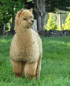 "Alpacas of Instagram (@alpacasofinstagram) on Instagram: ""Someone caption this : @establoalpacas #alpacasofinstagram"""