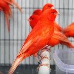Kenari Wortel Warna Merah 'Aspal' Di Pasaran