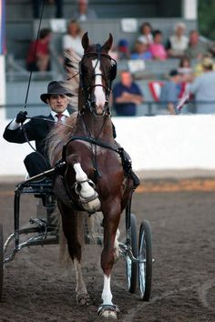 WC Gothic Revival...American Saddlebred, horse, hest, carriage, man, male, animal, gorgeous, beautiful, photograph, photo