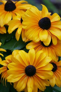 Black-eyed Susan ~ My grandmother loved.
