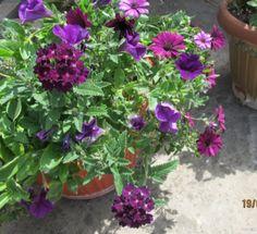 Цветы в горшках и подвесных корзинах - 3   Страница 99   Форум - FORUMHOUSE