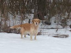 Selena, Labrador Retriever, Website, Labrador Retrievers, Labrador, Labrador Retriever Dog