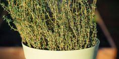 Καλλιέργεια θυμαριού σε γλάστρα   Τα Μυστικά του Κήπου Medicinal Herbs, Herbal Medicine, Herbalism, Home And Garden, Health, Plants, Decor, Decoration, Health Care