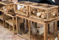 Sineu Live Animal Market