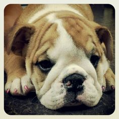 Come and see the best English Bulldog Puppies on the planet! www.Englishbulldogbreederbtr.com 918-774-5688