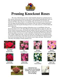 Knockout Rose Pruning guide