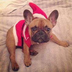 """""""Santa WHO is coming to town??, Nixon, the French Bulldog Puppy in a Santa Suit for Christmas,  #xmaspup by nixonthefrenchie"""