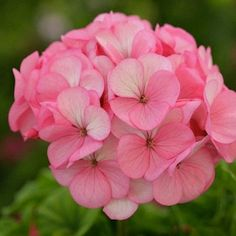 Divas Ice Rose Geranium - Annual Flower Seeds