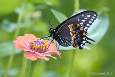 black-swallowtail-butterfly-zinnia-male-c2a9kim-smith-2013.jpg (3547×2399)