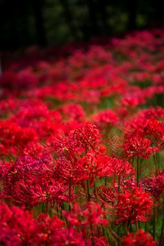 Red flowers, nature