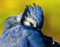 Twinkling Eye  Blue Jay Bird Fine Art by MichaelaSagatovaArt, $150.00