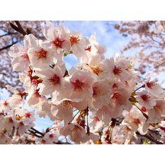 【sure_cchi】さんのInstagramをピンしています。 《桜の写真発掘。今年の春の桜だ(^q^) #花 #桜 #花盛り #春爛漫 #春2016 #ピンク #花のある暮らし #樹 #樹が好き #景色 #風景 #綺麗 #可愛い #cherryblossom #flower #flowers  #springfullbloom #spring2016 #pink #tree #scenery #pretty》