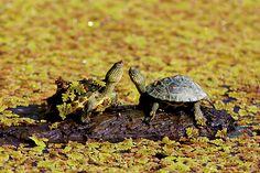 "斑龜 by Fu-yi Chen ""英名English Name: Green-headed turtle 中文名稱 Chinese Name: 斑龜 相機Camera:SONY Alpha DSLR 鏡頭Lens: Minolta 300 F2.8+1.4X"""