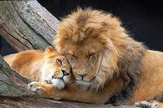 Lions in love.