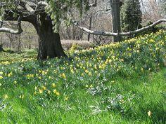 Daffodil Hill at Brooklyn Botanic Garden, Brooklyn, NY.  Photo by Medi Blum.