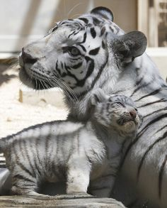 A 7-year-old white tiger sits with one of her cubs at Tobu Zoo in Miyashiro, near Tokyo. Four newborn white tiger cubs made their first public appearance at the zoo.