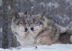 Two beautiful wolves in the snow.