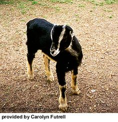 LaMancha goats - good creamy milk producer with relatively high butterfat content. Can come in any color and are considered more docile and easier milkers than other goats. Have very distinct small/non-existant ears