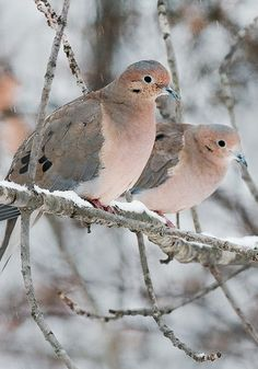 mourning dove in winter pair ? Pretty Birds, Love Birds, Beautiful Birds, Animals Beautiful, Animals And Pets, Cute Animals, Mourning Dove, Tier Fotos, Mundo Animal