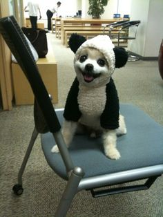 Panda dog. Next time I am having a bad day, I will just look at this picture.pretty cute for a small dog